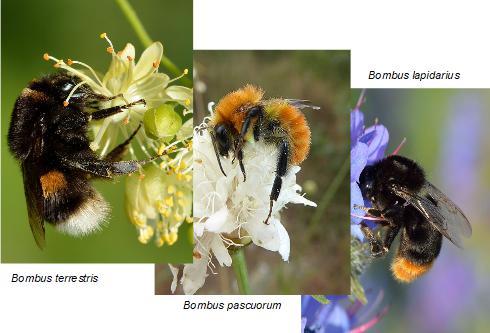 Alcune specie di bombi su fiori. Immagini non in scala