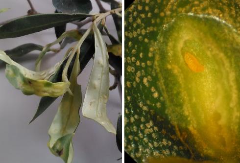 Cecidomia dell'olivo, particolare dei danni e della larva