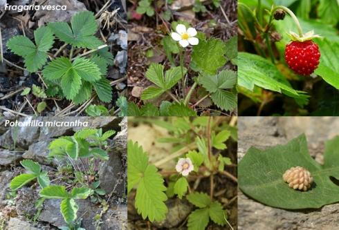Foglie, fiori e frutti di Fragaria vesca (in alto) e Potentilla micrantha (in basso)