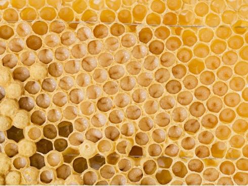 Covata maschile di api mellifiche