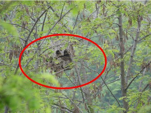 Il nido trovato in provincia di Pavia in questi giorni