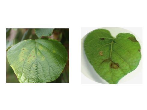 Sintomi di batteriosi del kiwi su foglia