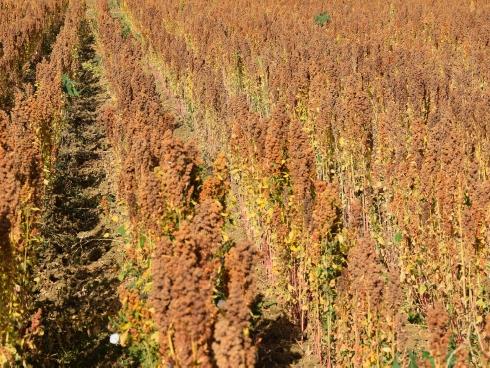 Un campo di quinoa Quipu matura