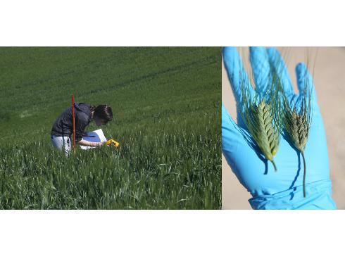 A destra un momento della ricerca su campo, a sinistra due spighe di grano, una con fusariosi inibita da sostanze naturali (a sinistra) e una colpita dal fungo (a destra)