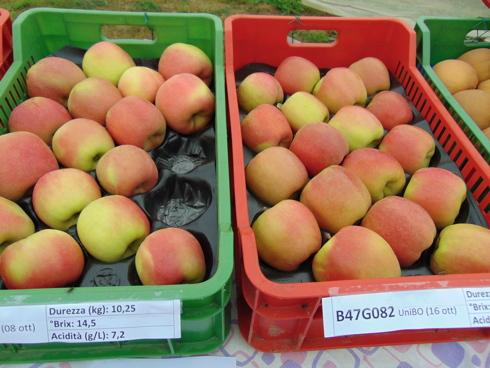 Nuova selezione di mela Rosata B47G082, targata Unibo e presentata a Cadriano