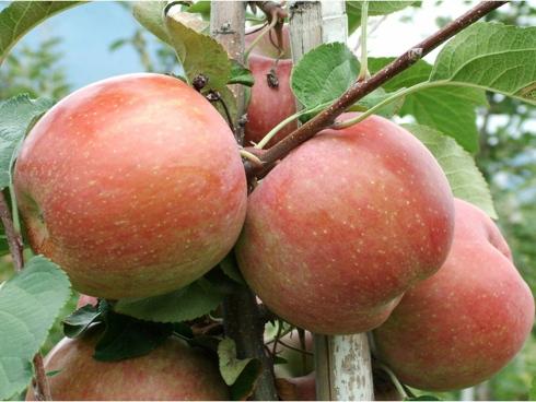 Fuji Kiku Fubrax: clone di Brak 8 rosso-striato e dal sapore dolce