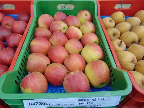 Nuova selezione di melo B47G047, targata Unibo e presentata a Cadriano