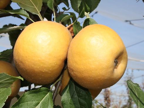 Varietà di melo B48C251, costituita dall'Università di Bologna