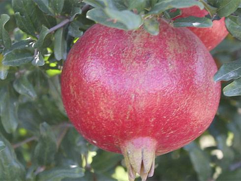 Vivaio Rosso Melograno : Melograno ornamentale u vivai costanzo
