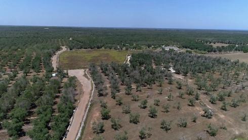 1,5 ettari di oliveto in trattamento dal 2016 aCannole (Lecce)