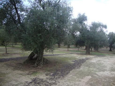 2 ettari di olivi secolari in trattamento dal 2018 a Giurdignano (Lecce)