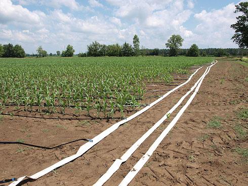 Irrigazione a goccia del mais tutti i vantaggi for Gocciolatori per irrigazione a goccia