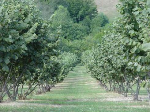 Un impianto di nocciolo in Piemonte