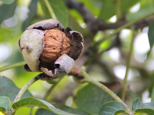 Frutto di noce su pianta all'interno di un noceto