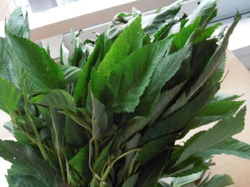 Corchorus olitorius o Molokhia, pianta usata fresca o secca per zuppe e piatti tradizionali africani