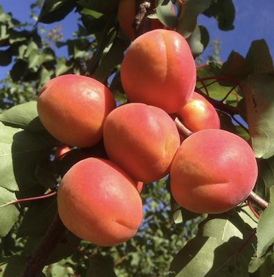 Albicocco varietà Madrigal di Psb