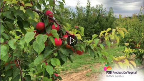 Video di presentazione della varietà di albicocco Nelson-cov