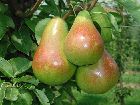 Pere della varietà Carmen ancora su albero di pero