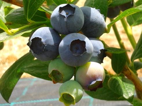 Frutti di mirtillo gigante o americano: pianta appartenente ai piccoli frutti