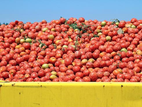Pomodoro da industria appena raccolto e messo negli appositi bins