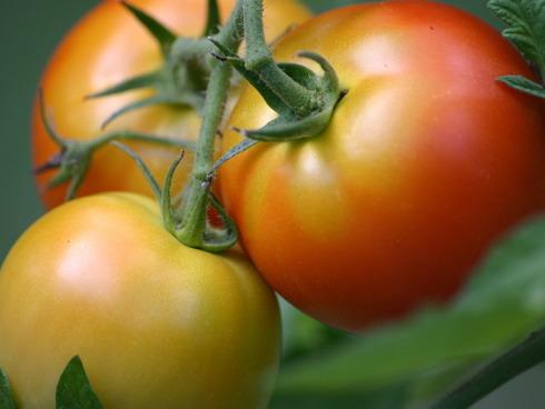 Un grappolo di pomodori da mensa, pronti per un'insalata