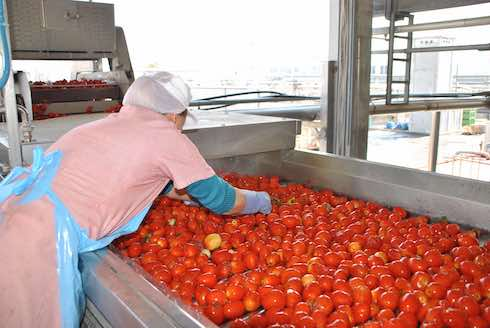Pomodoro da industria sul rullo