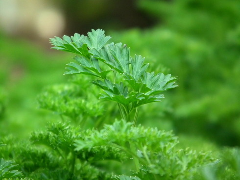 Scopri la nuova pianta su Plantgest. Oggi presentiamo il prezzemolo.