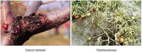 Faro wg nuovi impieghi in etichetta agronotizie - Cimice del pomodoro ...