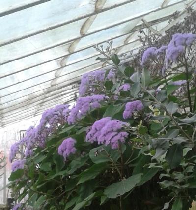 La Bartlettina sordida nelle antiche serre del Giardino Inglese della Reggia di Caserta