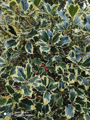 Agrifoglio, Ilex aquifolium Argento marginato