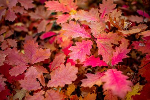 Foglie di Quercus rubra