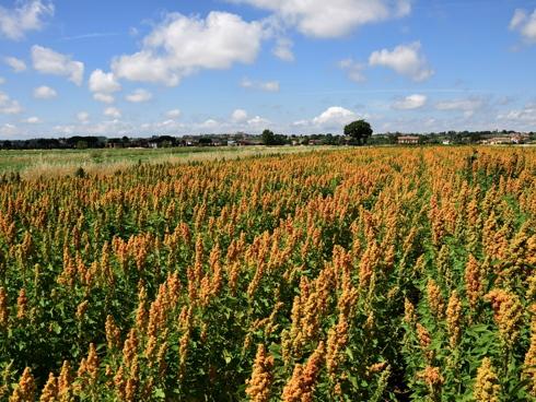 Quipo, nuova varietà made in Italy di quinoa realizzata dall'Universtità di Firenze