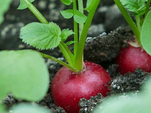 Ravanello rosso durante la fase di accrescimento nel terreno