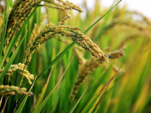 Particolare di una pianta di riso, pronta per la raccolta