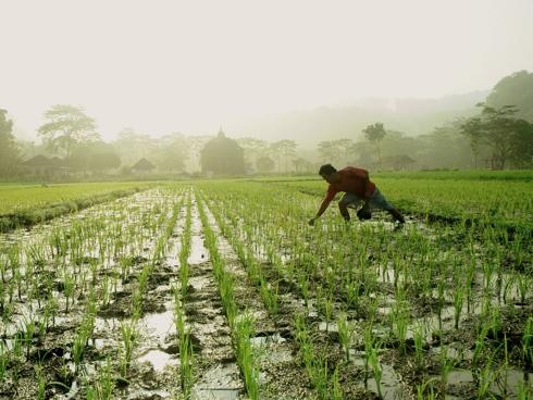 Risaia in Cambogia con agricoltore durante una fase di allevamento
