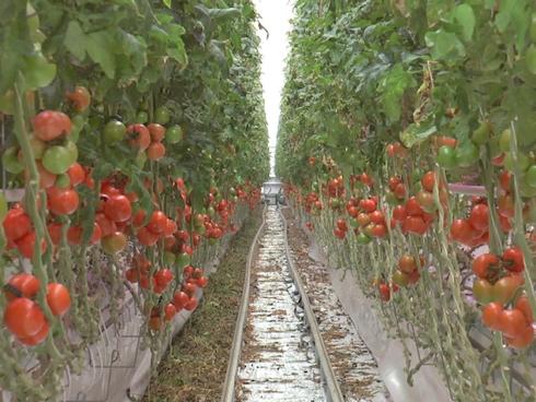 Pomodori in serra coltivati con tecnica tradizionale