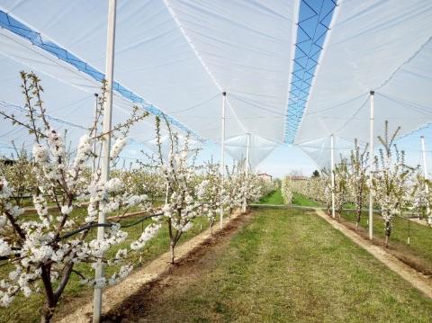 Azienda Reggianini Dante, impianto con teli per la protezione delle ciliegie dalla pioggia