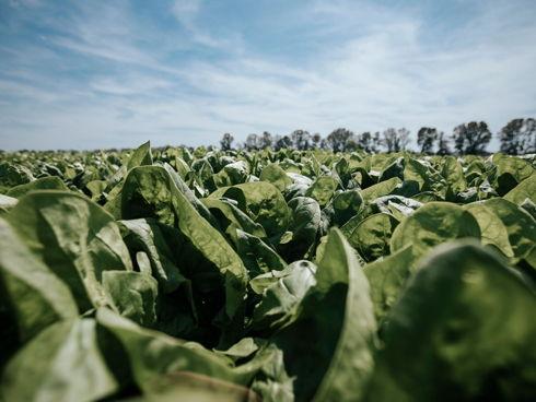 Piante di spinacio raccolte in pieno campo