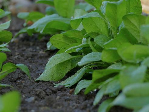 Piante di spinacio, orticola di largo consumo in Italia