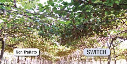 Trattamento Kiwi con Switch e senza