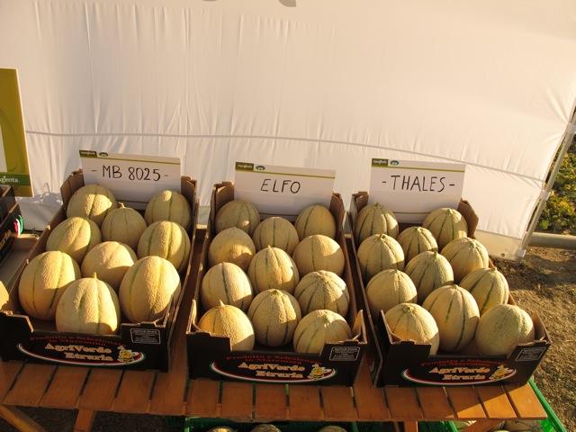 I meloni del futuro crescono in toscana agronotizie for Coltivare meloni