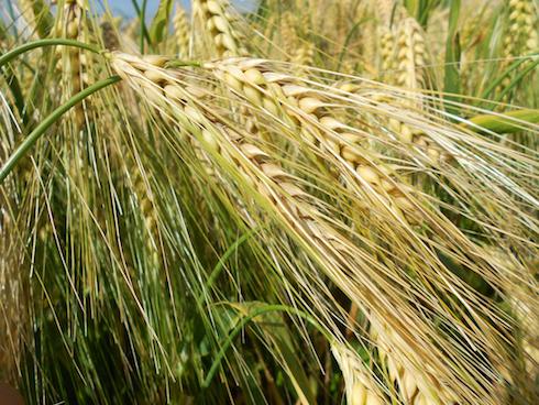 Orzi ibridi Hyvido® di Syngenta: produttivi non solo quanto a massa vegetale, ma anche per la granella