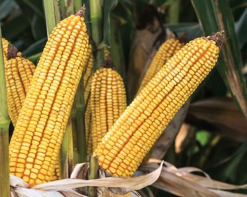 Antex, ibrido di mais di Syngenta appartenente alla famiglia Artesian: produzioni di granella elevate in ogni condizione