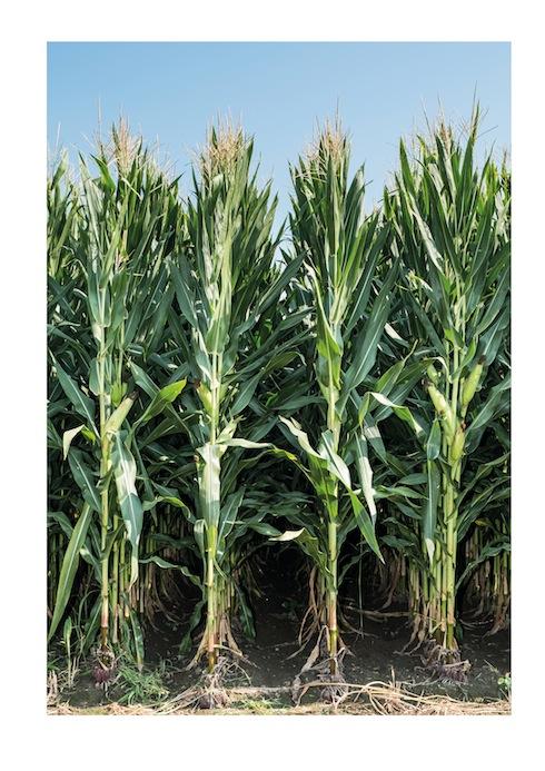 SY Gladius di Syngenta: massima espressione del mais da trinciato, sia di primo, sia di secondo raccolto