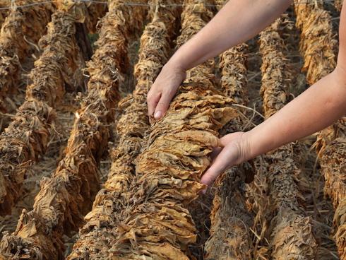 Tabacco, fase dell'essicazione dopo la raccolta