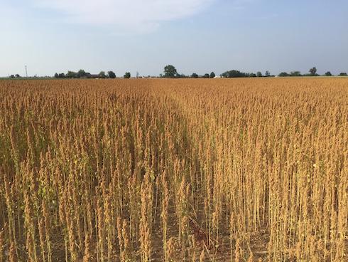 Quinoa pronta per la raccolta