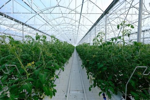 L'interno di una serra che produce pomodori