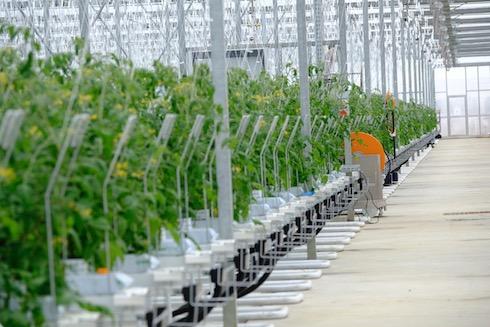 Le serre olandesi arrivano a produrre 100 chili di pomodoro per metro quadro