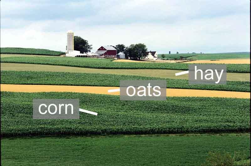 Un esempio di strip cropping con mais, avena e fieno