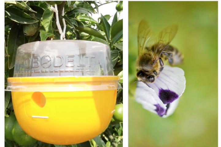 A sinistra, trappola Attract&Kill per la cattura della mosca della frutta. A destra, un'ape da miele come esempio di insetto utile
